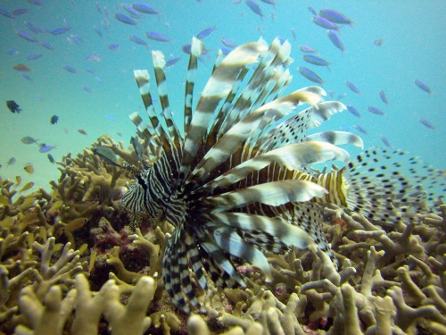 lionfishs