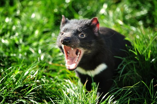 07-09-2011 pic Scott gelston Threatened Species Day Tasmanian Devil at Tasmania Zoo on Threatened Species Day